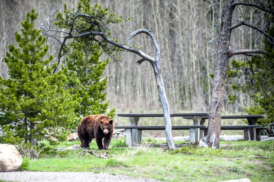 Grizzly bear in campground